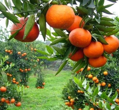 橙皮精油助剂案例