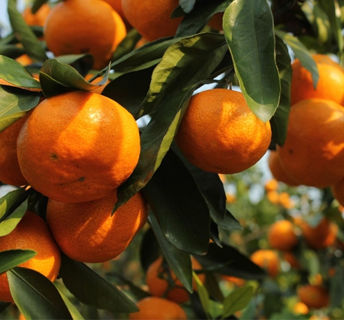 柑橘水溶肥效果案例